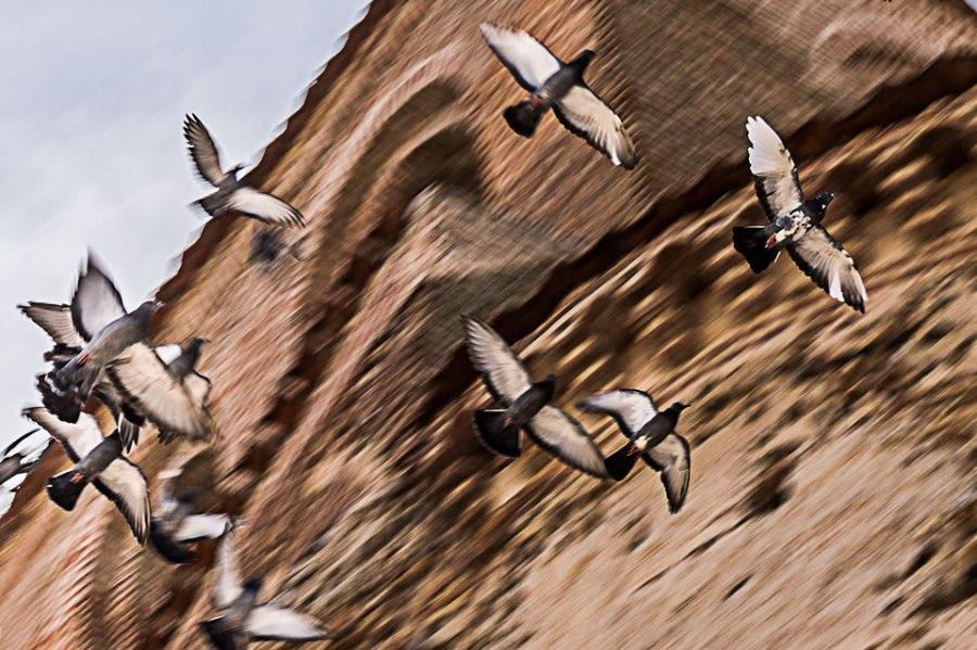 Palomas en vuelo.
