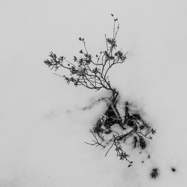 Planta en la nieve. Peguerinos, Ávila.