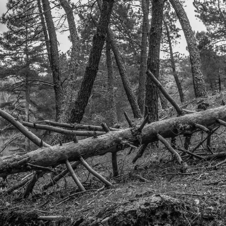 El árbol caido. Santa María de la Alameda, Madrid.