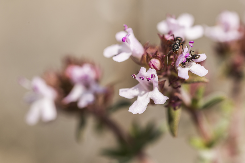 Flores con hormigas, 2017.